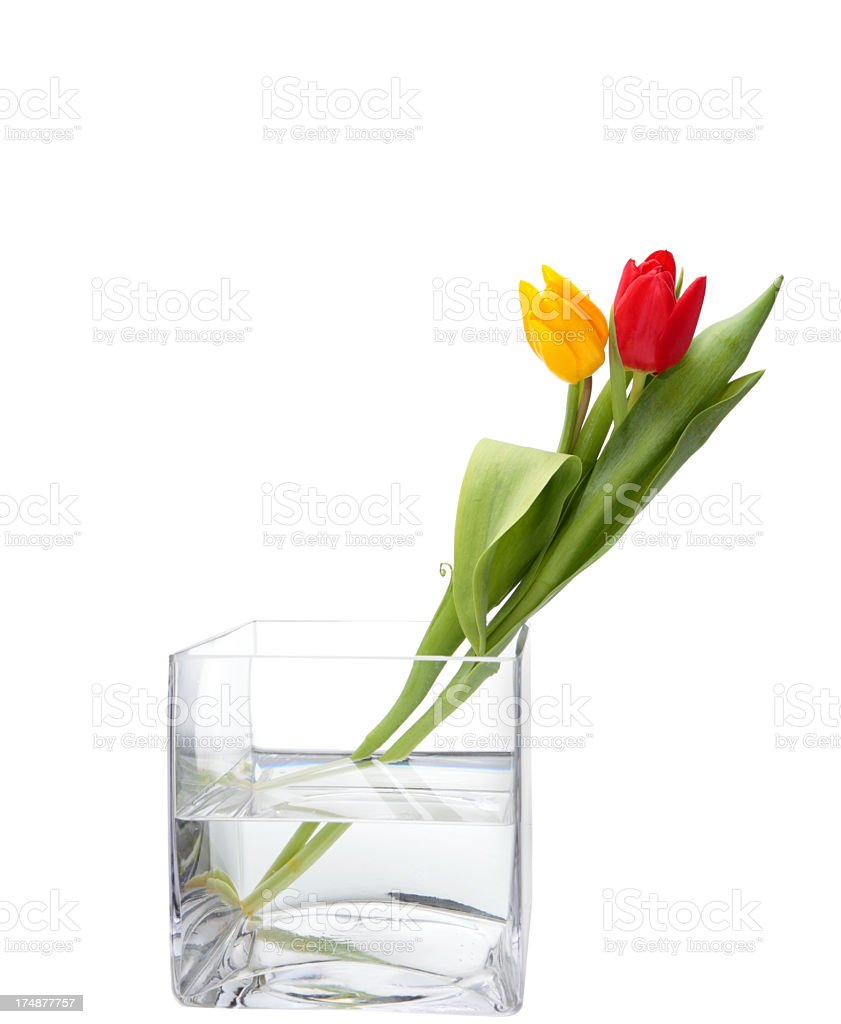 yellow red tulips in square glass vase isolated on white royalty-free stock photo