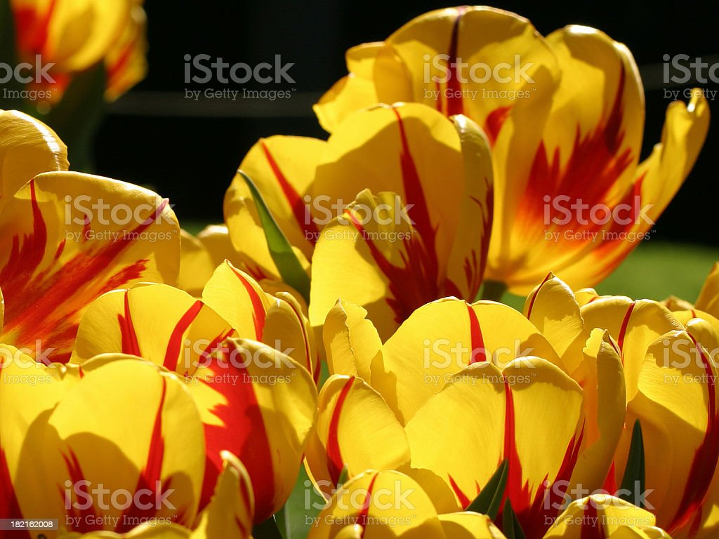 Yellow red tulips stock photo