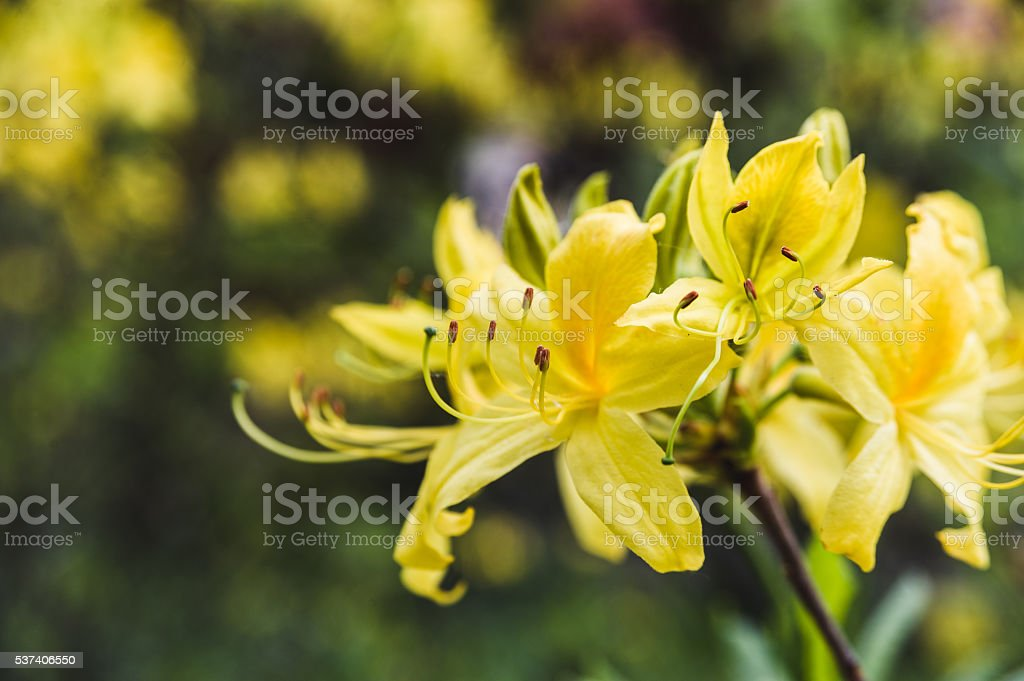 yellow rhododendron flowers against the backdrop of lush greenery stock photo