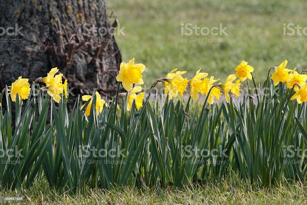 Yellow roadside daffodils in Merton England stock photo