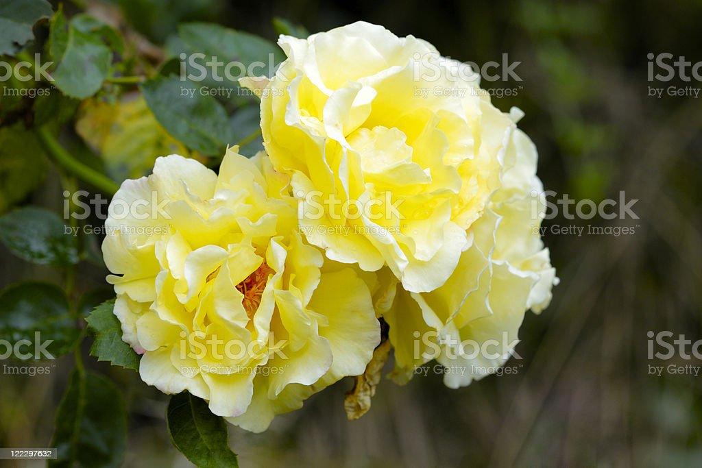 Yellow rosa stock photo