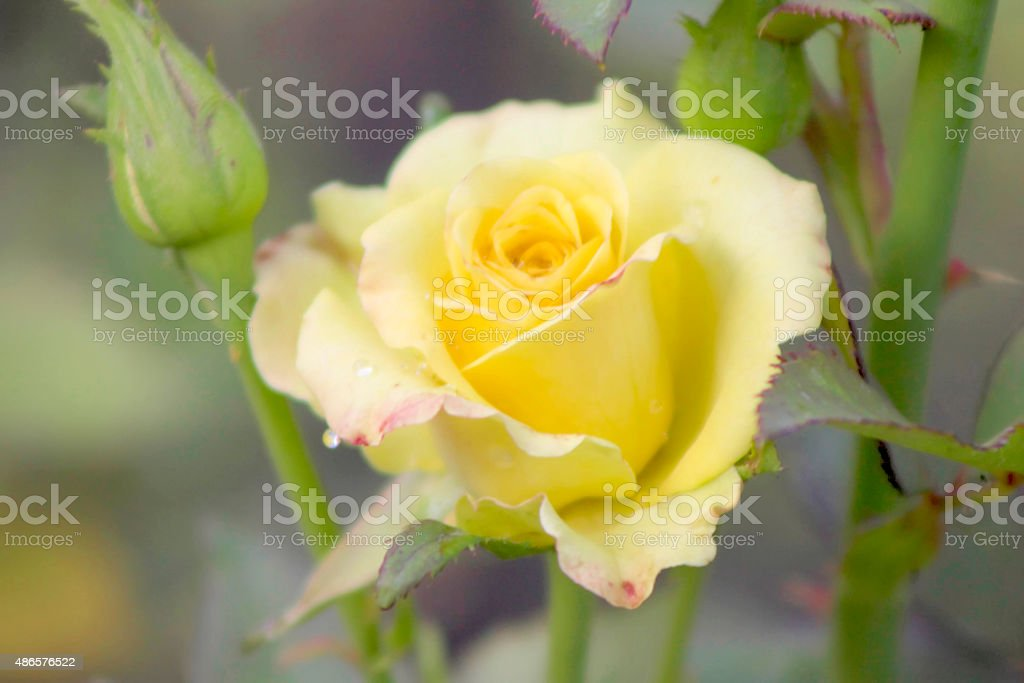 Yellow Rosa stock photo