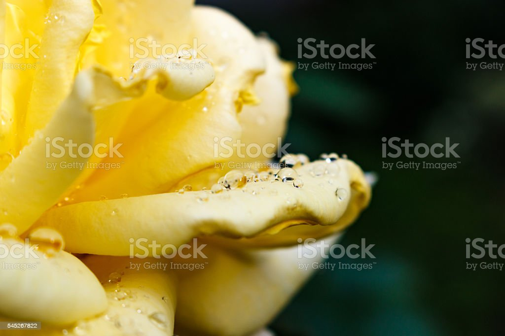 Yellow rose after rain. petals with drops of dew stock photo