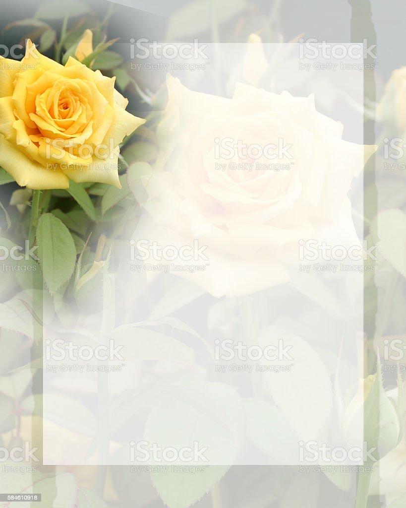 Yellow Rose Background stock photo