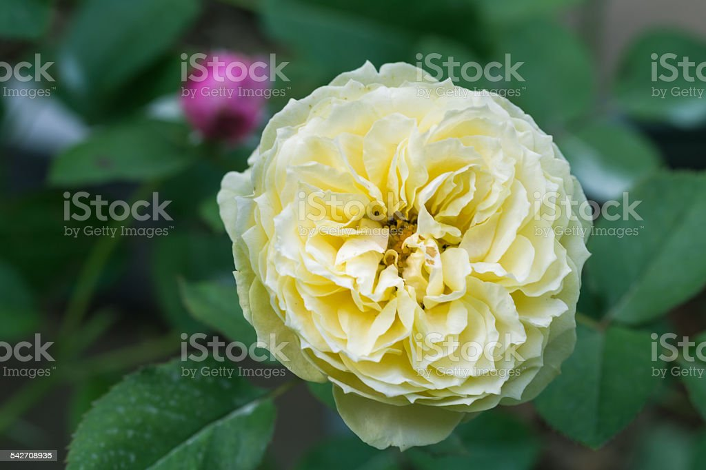 yellow rose blooming stock photo