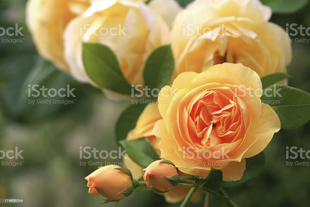 Yellow rose blooms royalty-free stock photo