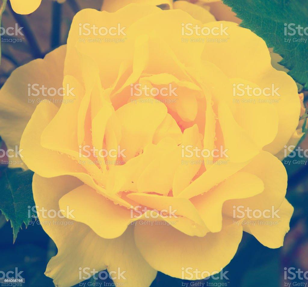 yellow rose blossom stock photo