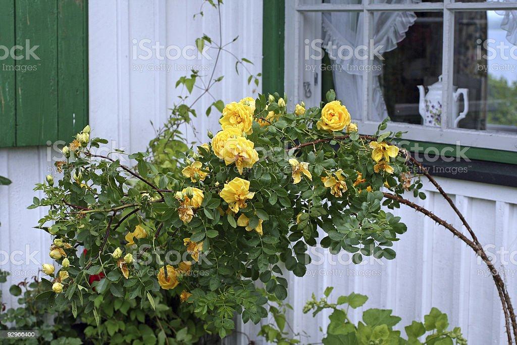 Yellow Rose bush, Norway royalty-free stock photo