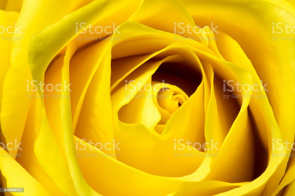 yellow rose close up stock photo