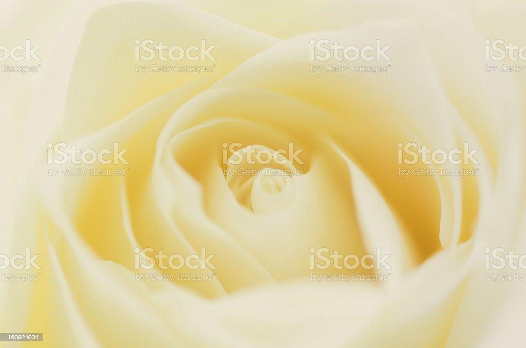 Yellow Rose Closeup royalty-free stock photo