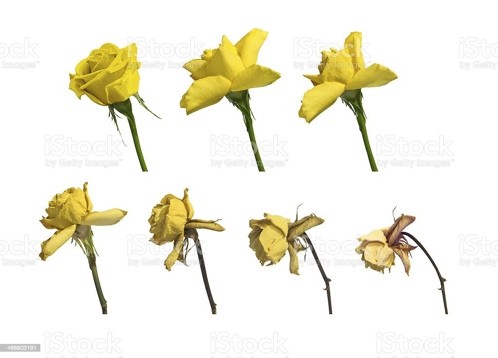 Yellow Rose Decaying. stock photo