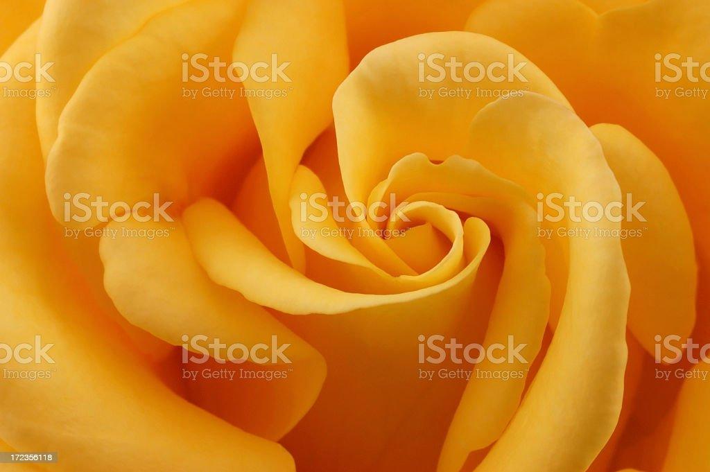 Yellow rose detail stock photo