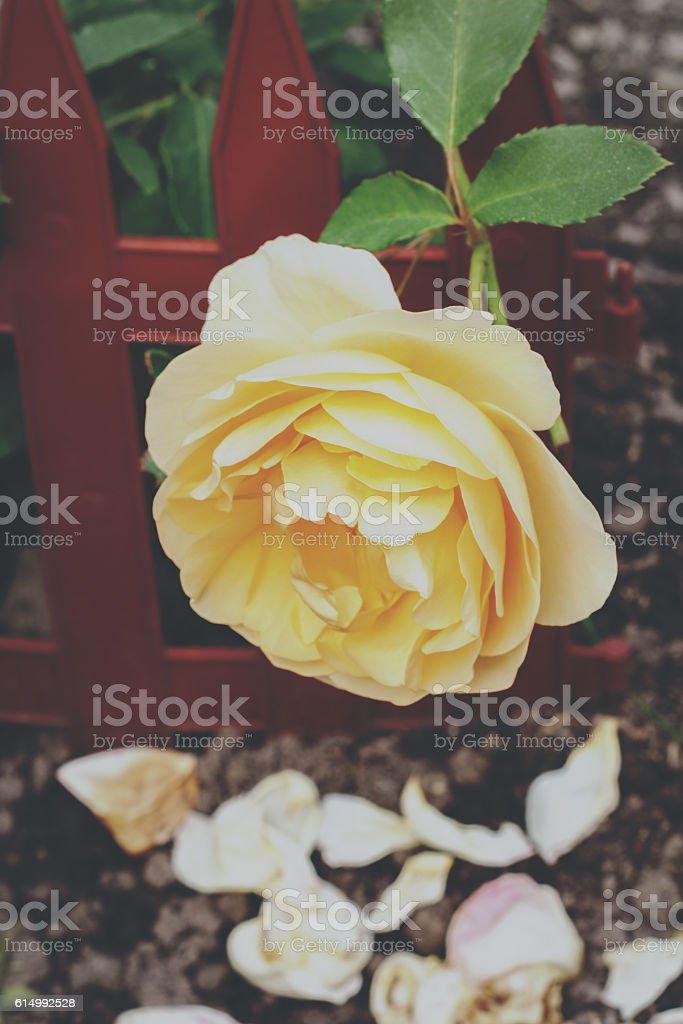 Yellow rose in a garden stock photo
