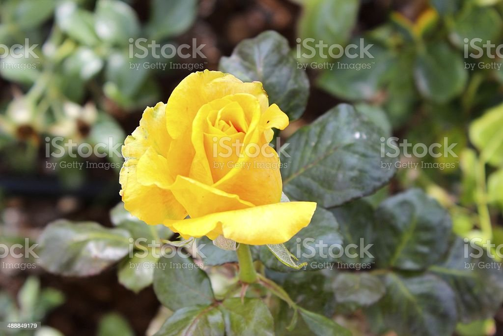 Yellow Rose in Addis Ababa royalty-free stock photo