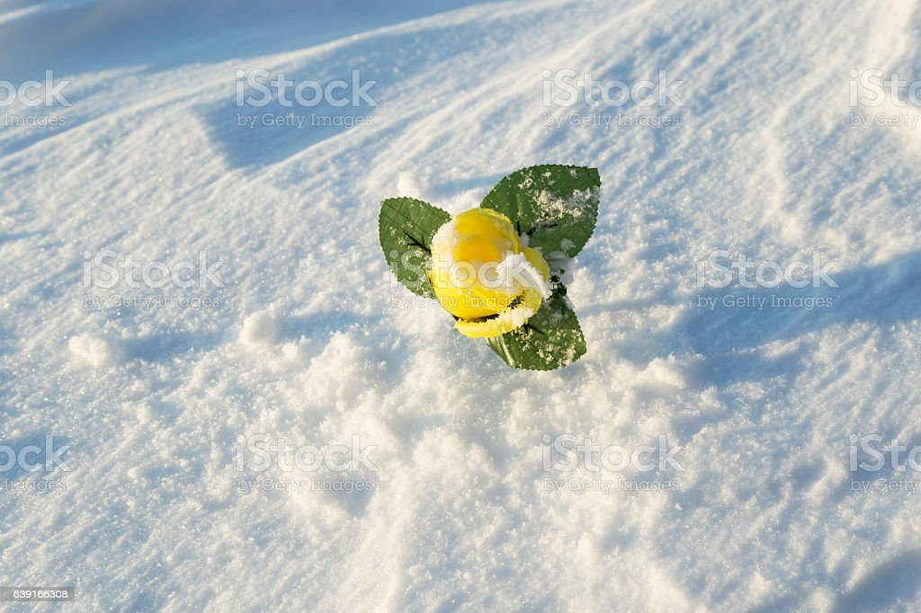 Yellow Rose in Drifted Snow stock photo