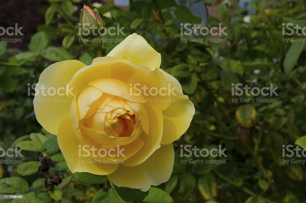 Yellow Rose of Texas royalty-free stock photo