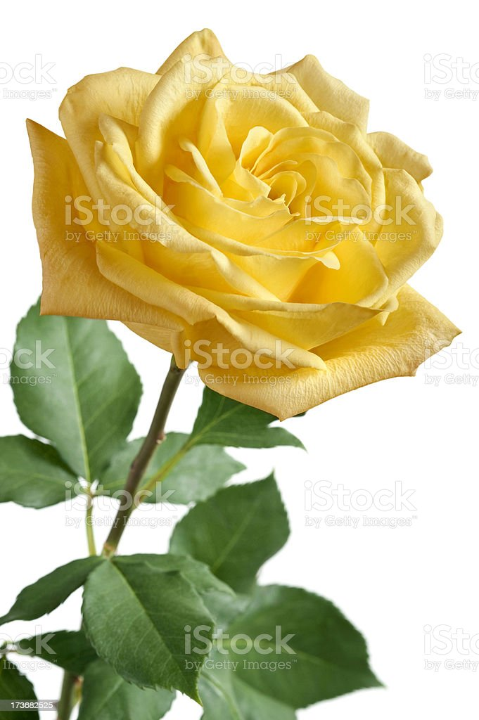 Yellow Rose on White Background royalty-free stock photo