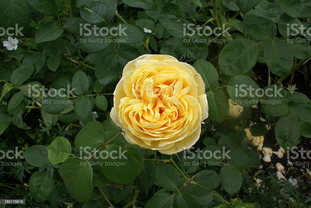 Żółty Róża jeden zbiór zdjęć royalty-free
