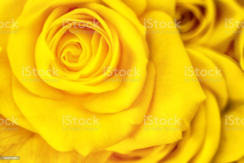 yellow rose petals macro photography stock photo