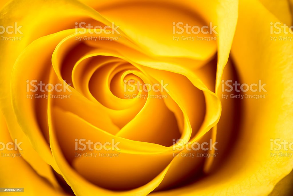 Yellow Rose. stock photo