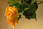 Yellow rose reflected on the  surface