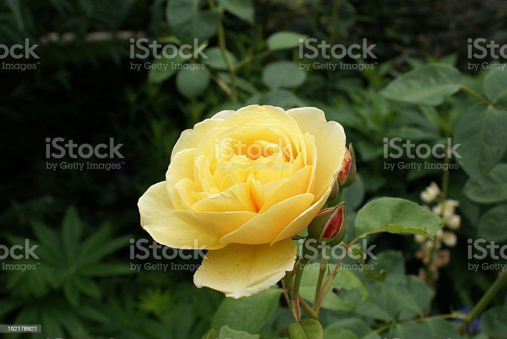 Trzy żółty Rose zbiór zdjęć royalty-free