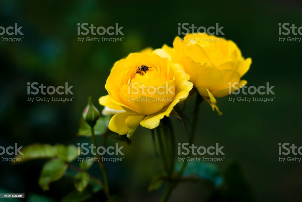 Yellow Rose with bee stock photo