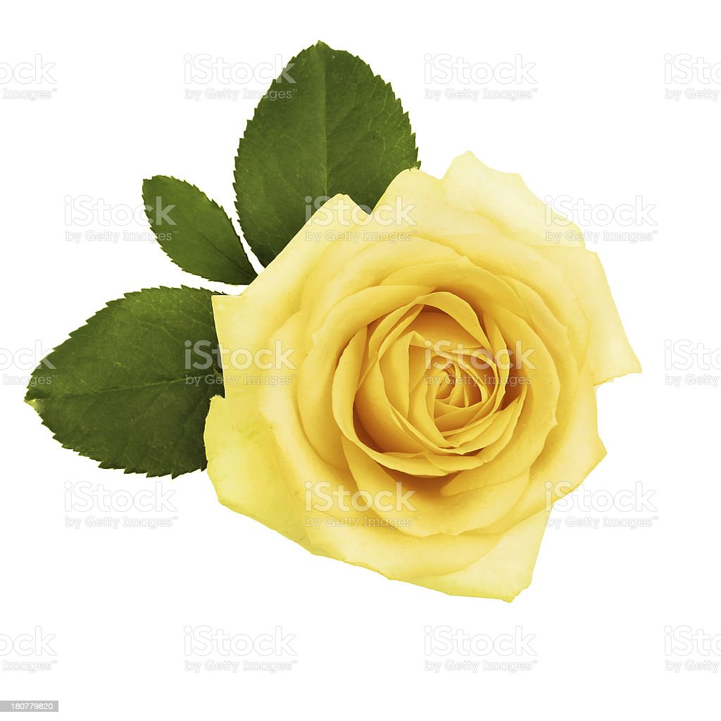 yellow rose with green leaves royalty-free stock photo