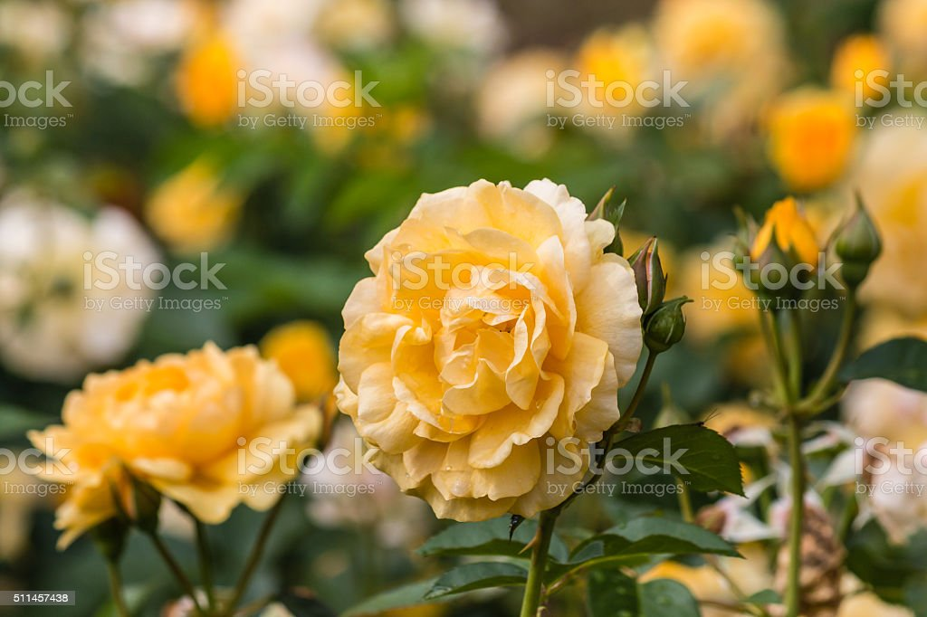 yellow roses in bloom stock photo