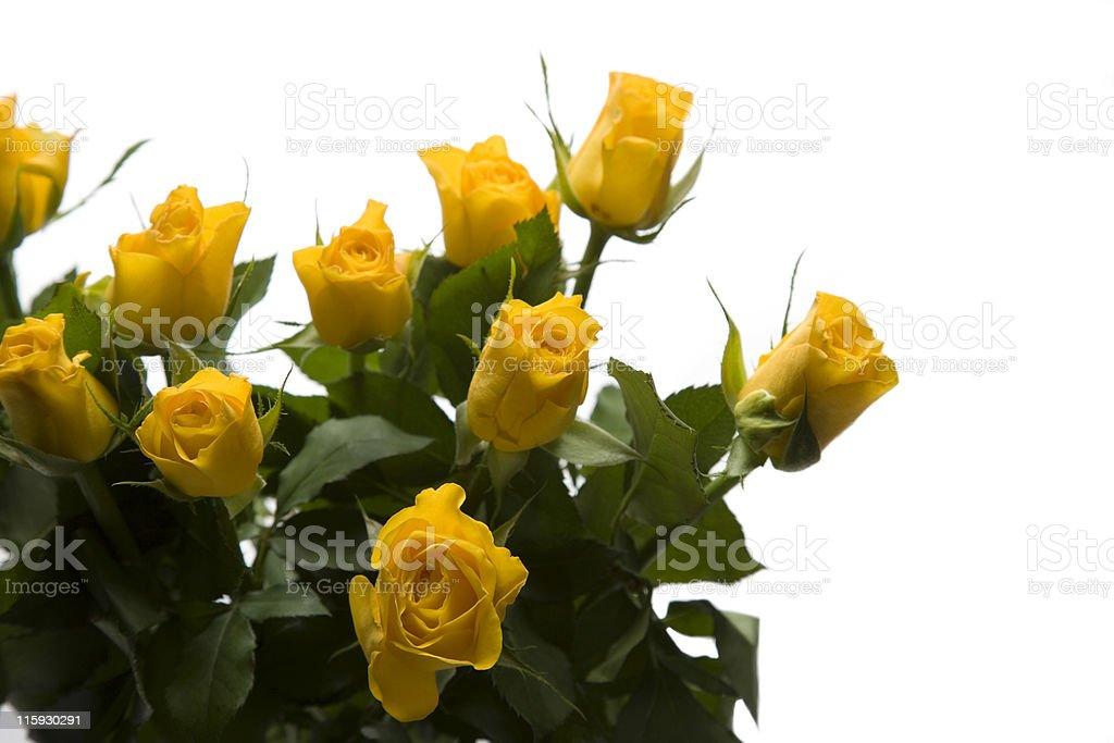 Yellow roses on white background royalty-free stock photo