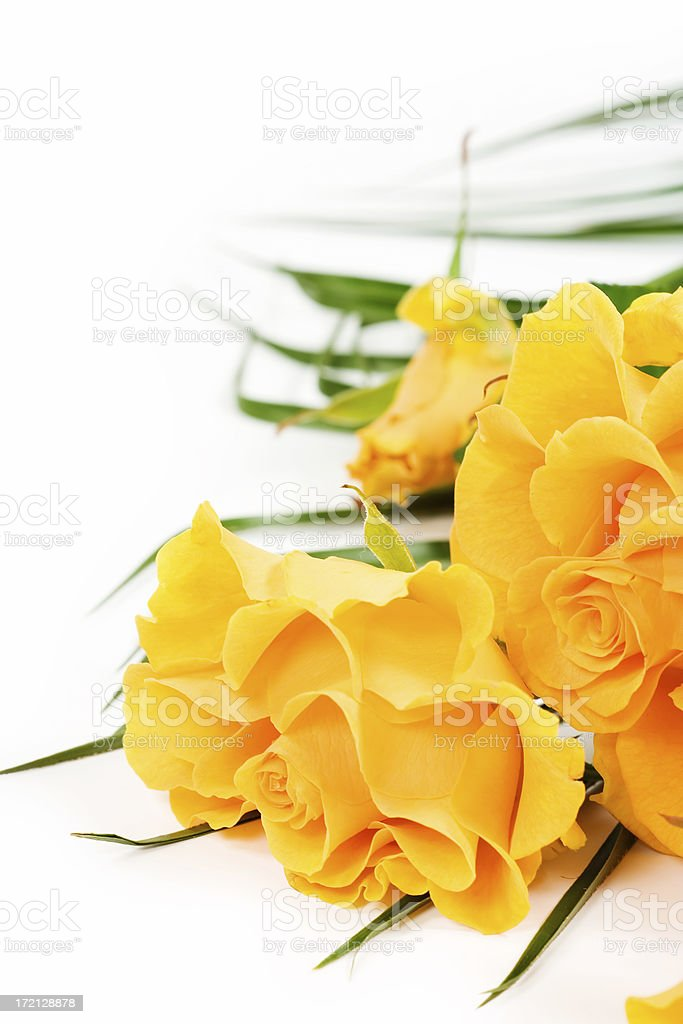 Yellow roses on white background royalty-free stock photo