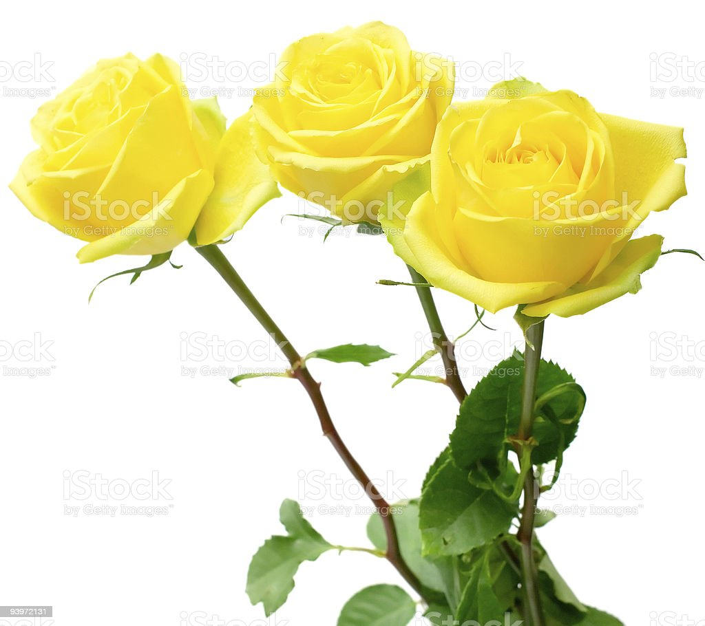 yellow roses on white stock photo