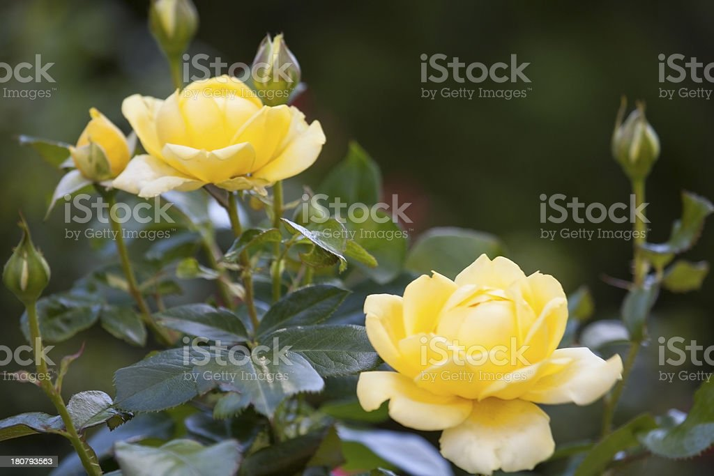 Yellow roses. stock photo