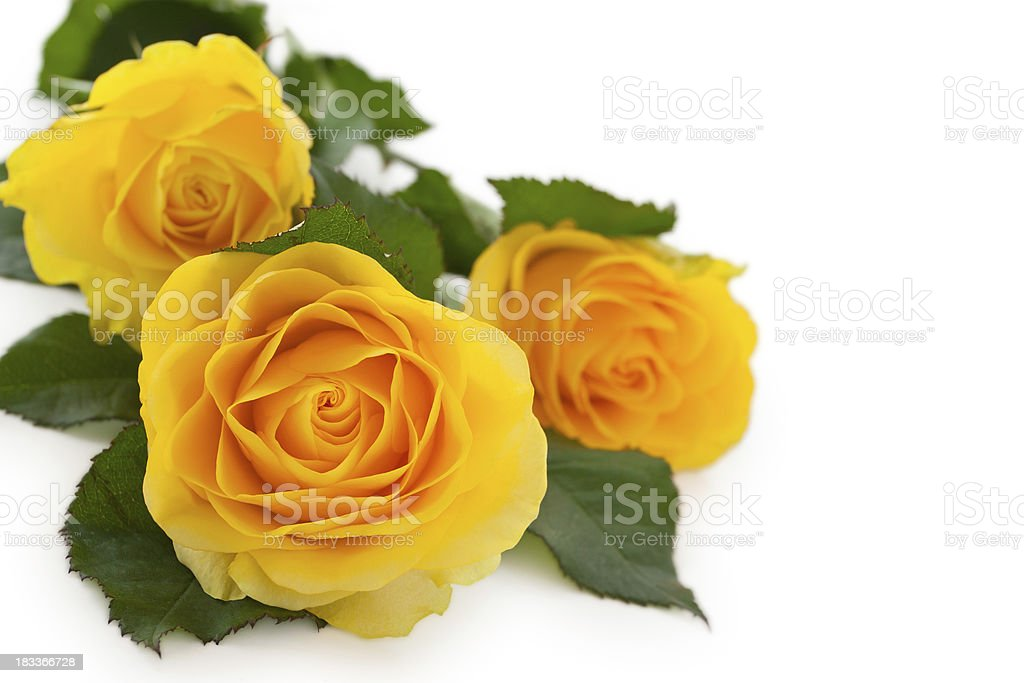 Yellow Roses. royalty-free stock photo
