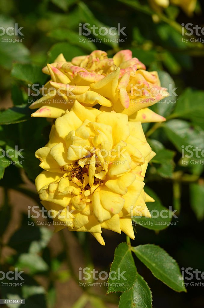 gelbe Rosen stock photo
