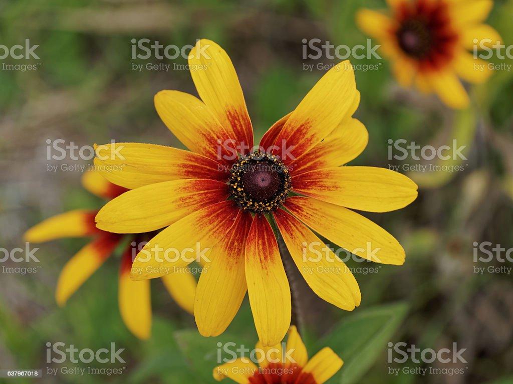 yellow rudbeckia flower stock photo