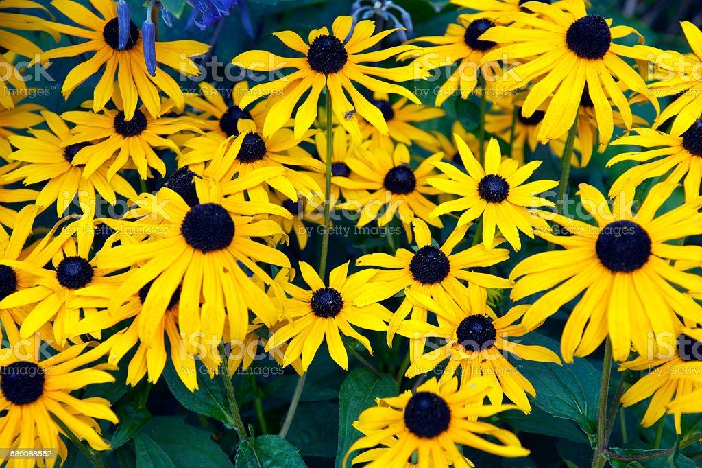 Yellow rudbeckia flowers stock photo