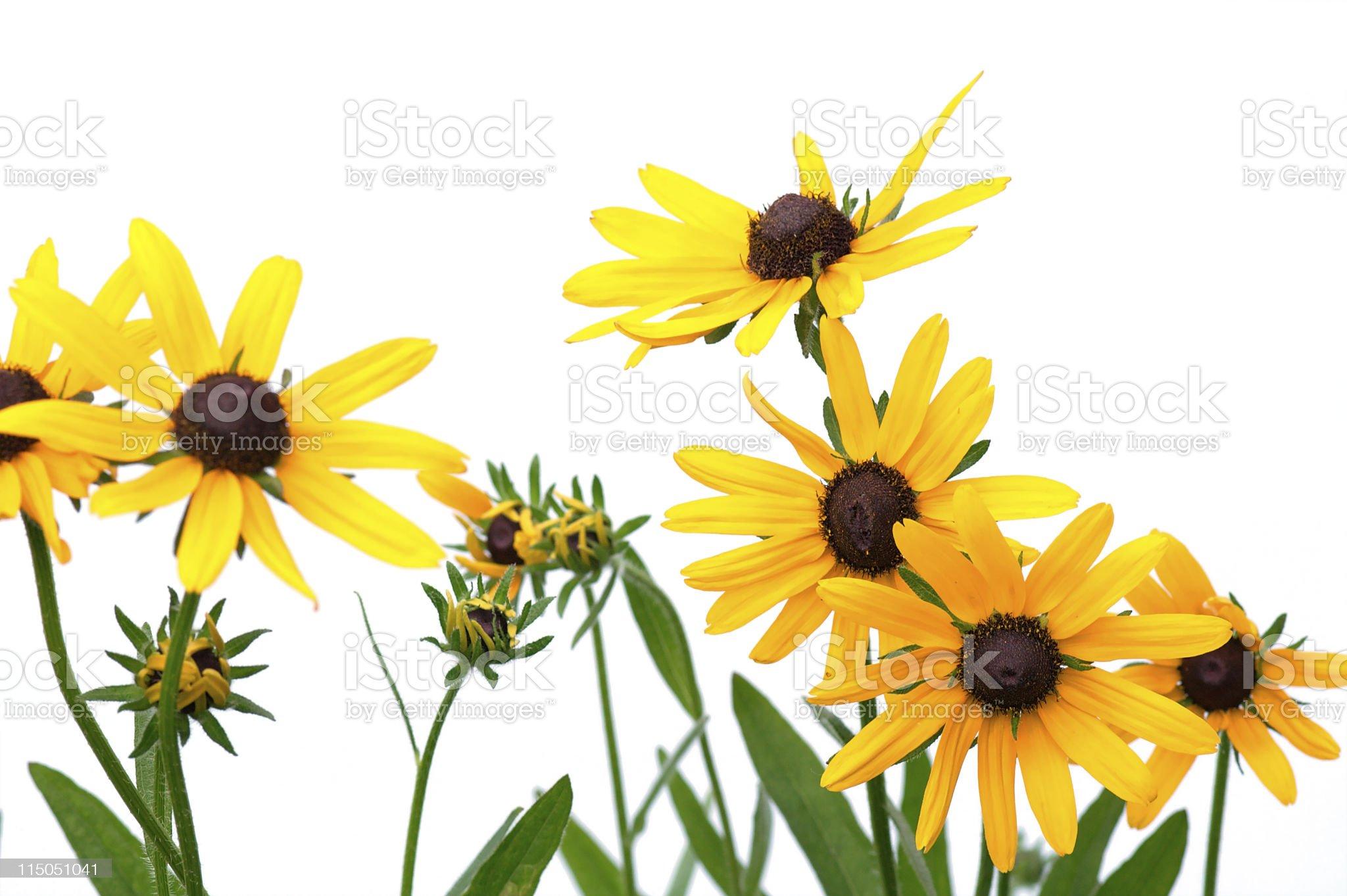 Yellow rudbeckias on white background royalty-free stock photo