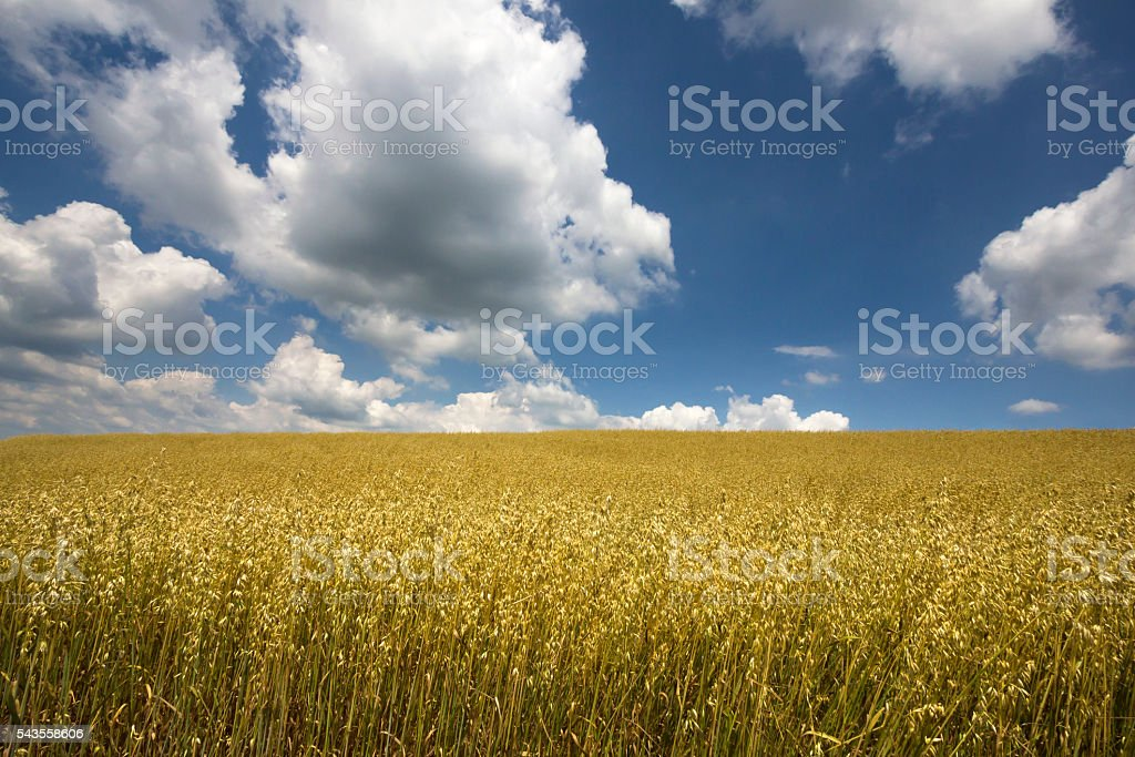Yellow rye field on beautiful day in European countryside stock photo