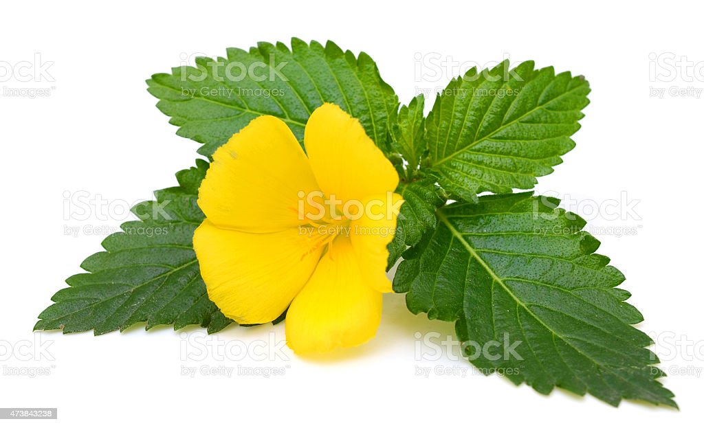 Yellow Sage rose flower with dew isolated on white background stock photo