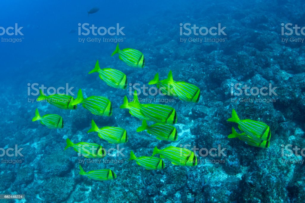 Yellow school of fish in formation over rocky bottom 1 stock photo