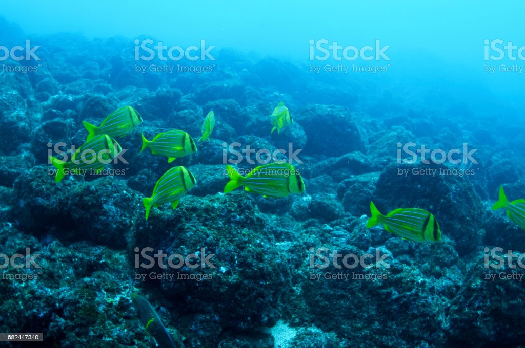 Yellow school of fish in formation over rocky bottom 3 stock photo