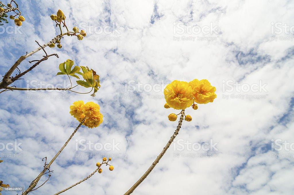 Yellow Silk Cotton or Cochlospermum regium royalty-free stock photo
