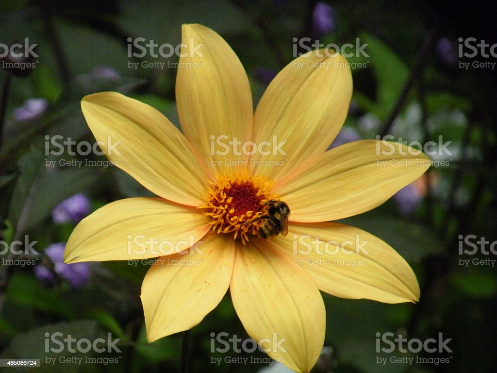 Yellow singsle dahlia with bee stock photo