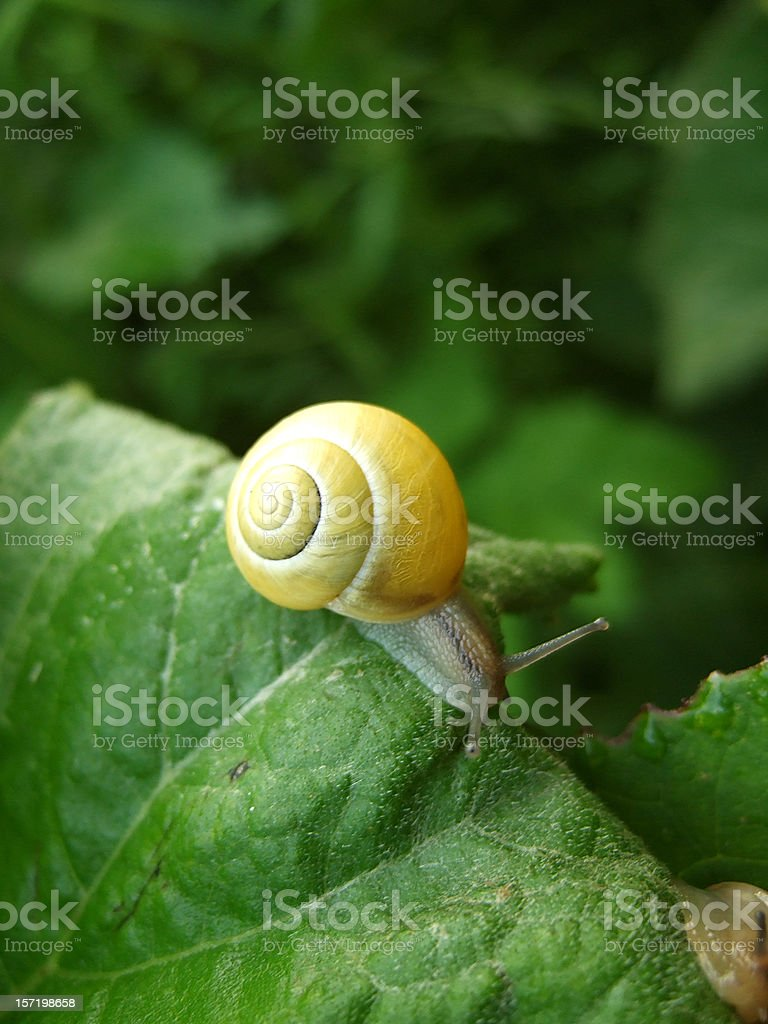 A yellow snail crawling along green leaves royalty-free stock photo