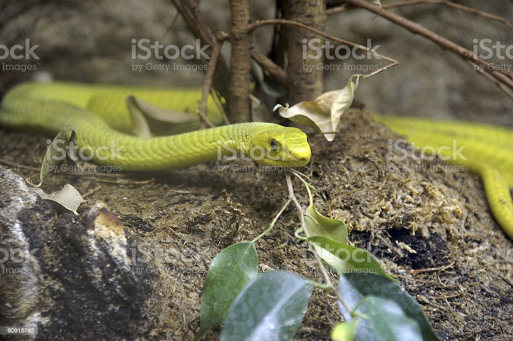 yellow snake 2 royalty-free stock photo