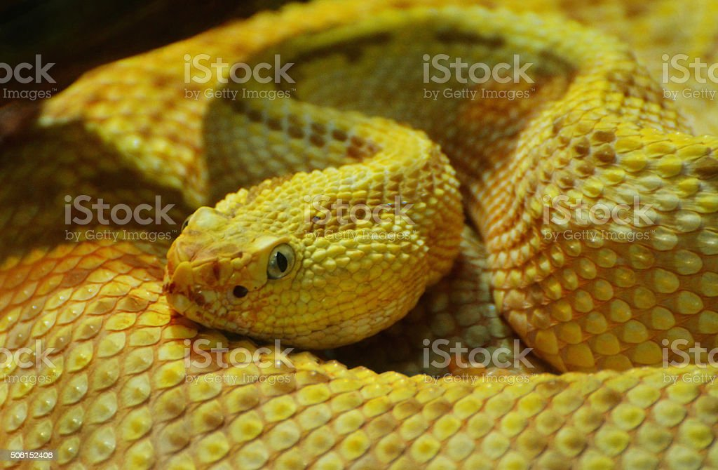 Yellow Snake stock photo