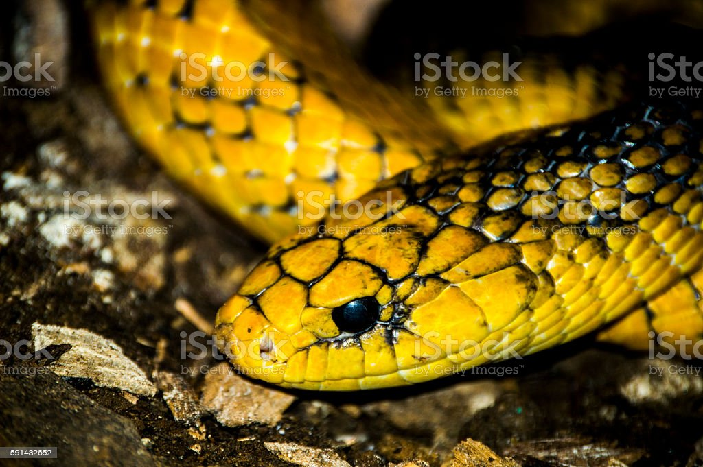 yellow snake with black... stock photo