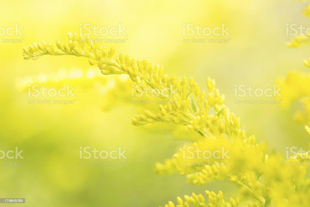 Yellow Solidago royalty-free stock photo