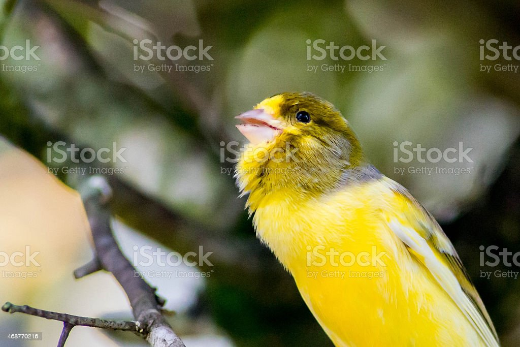 Yellow Song Bird With Head Tilted Back To Begin Singing stock photo